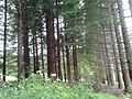 Plantación experimental de sequoia sempervirens en Fontao, Foz.jpg