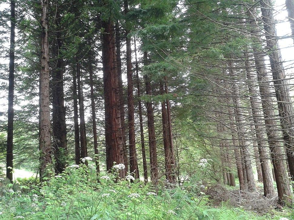 Plantación experimental de sequoia sempervirens en Fontao, Foz