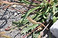 Plantago macrorrhiza 0.jpg