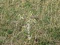 Plante sauvage (1).JPG