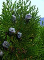 Platycladus orientalis foliage cones.jpg