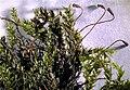 Platyhypnidium riparioides.jpeg