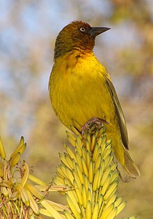 Ploceus capensis -Johannesburg, South Africa -male-8.jpg