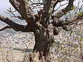 Plumeria rubra (4400639638).jpg