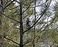 Plump squirrel sits in pine tree (4166908352).jpg