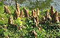 Pneumatophore de Taxodium distichum 01 by Line1.jpg