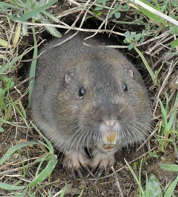 English: Pocket Gopher photographed at Ano Nue...