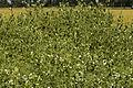 Pois ASCENCION Agri-Obtentions-4-cliche Jean Weber (24083834305).jpg
