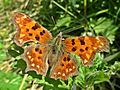 Polygonia c-album (Nymphalidae sp.), Arnhem, the Netherlands.jpg