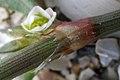 Polygonum oxyspermum subsp. raii stem (05).jpg