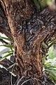 Polylepis en el Parque Lítico de Huaraz.jpg