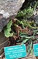 Polystichum lemmonii - Regional Parks Botanic Garden, Berkeley, CA - DSC04271.JPG