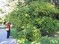 Poncirus trifoliatus Botanicka zahrada Bratislava1.jpg