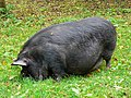 Pot-bellied pig, Winterbourne Monkton - geograph.org.uk - 1010503.jpg