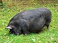 Pot-bellied pig, Winterbourne Monkton - geograph.org.uk - 1010503.jpg