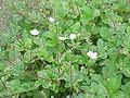 Potentilla fragiformis2.jpg