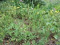 Potentilla gracilis (5087260861).jpg