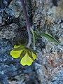 Potentilla hookeriana upernavik 2007-07-11 3.jpg