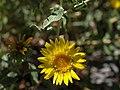 Prairie gumweed, Grindelia squarrosa var. serrulata (16313060116).jpg