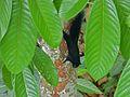 Prevost's Squirrel (Callosciurus prevostii pluto) (8082765658).jpg