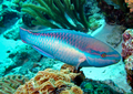 Princess-parrotfish.png