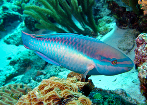 A Princess Parrotfish
