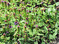 Prunella vulgaris Prague 2011 1.jpg