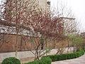 PrunusPersica2.jpg