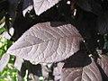 Prunus cerasifera Thundercloud 1zz.jpg