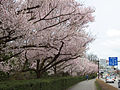 Prunus sp in Takaoka Kojo Park 12.jpg