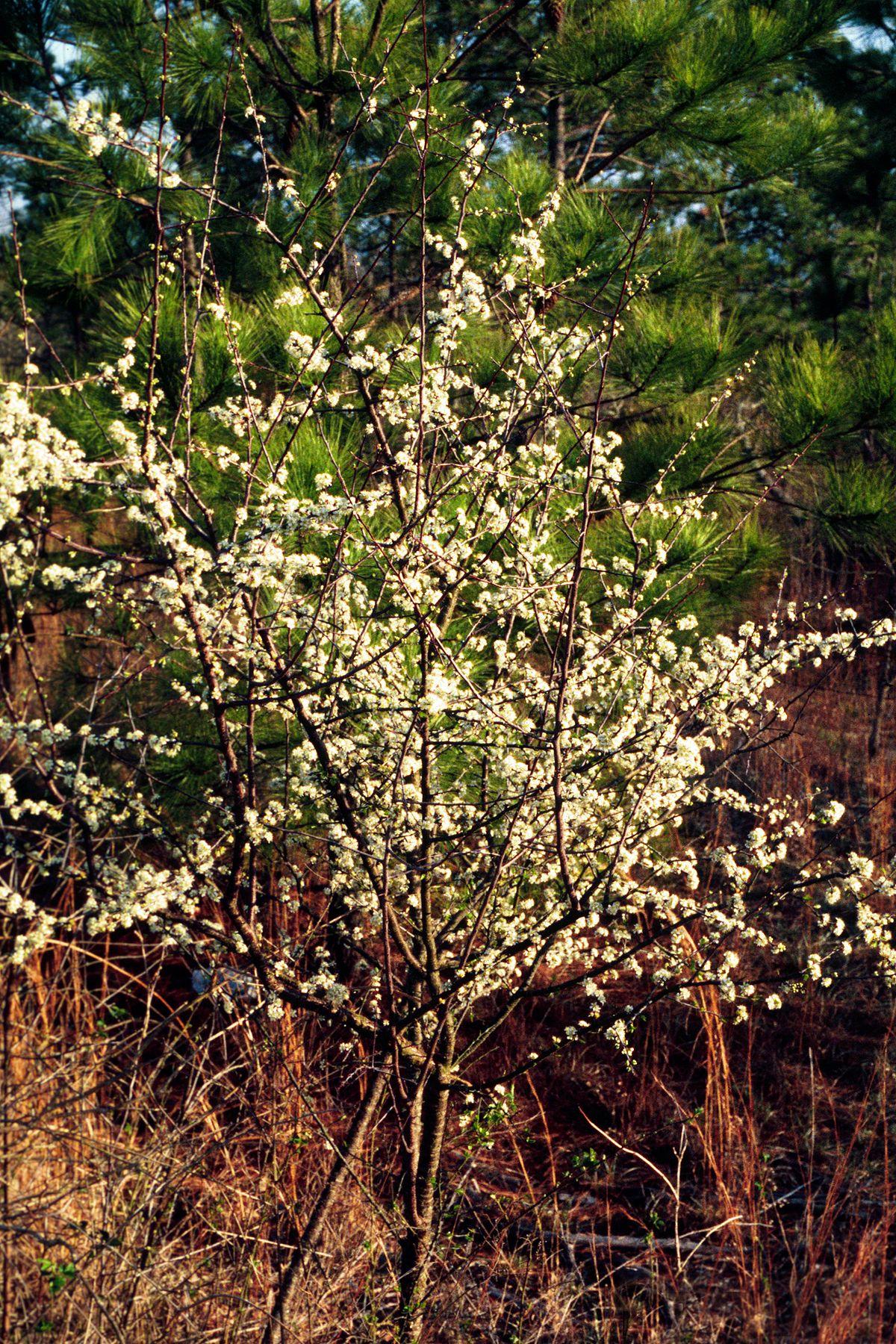 Prunus Umbellata Wikipedia
