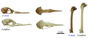 Puffinus - Comparison between P. olsoni and P. puffinus