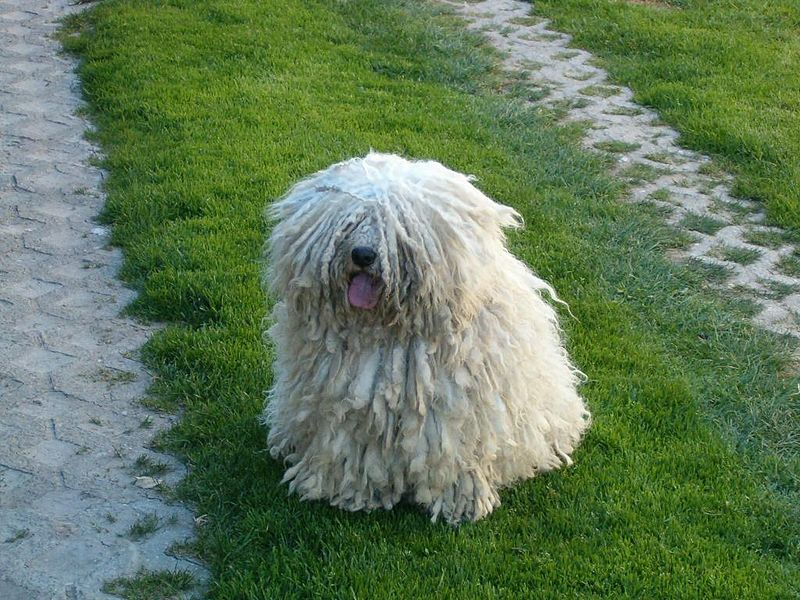 cool-facts-about-dogs-puli