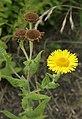 Pulicaria-dysenterica-flower.jpg
