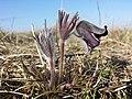 Pulsatilla pratensis (subsp. nigricans) sl30.jpg