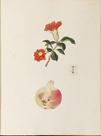 Kawahara Keiga - Image: Punica granatum ザクロ