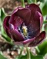 PurpleTulip (18174930312).jpg