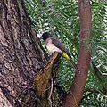 Pycnonotus tricolor (20832598544).jpg
