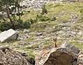 Pyrenean chamois - Pyrenese gems - Rupicapra pyrenaica.jpg