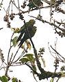Pyrrhura hoffmanni -Costa Rica-4.jpg