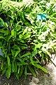 Pyrrosia lingua - Mildred E. Mathias Botanical Garden - University of California, Los Angeles - DSC02805.jpg