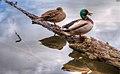Quack Quack To You (135773273).jpeg