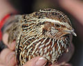 Quail in hands, Canberra ACT