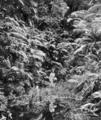 Queensland State Archives 888 Original Tropical Jungle Fairyland Kuranda via Cairns North Queensland March 1931.png