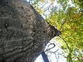 Quercus cerris (5).JPG