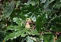 Quercus cerris 3.jpg