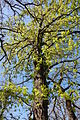 Quercus gussonei Ficuzza 0043.JPG