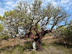 Cork Oak, showing the dark reddish bark shortly after harvesting (Algarve, Portugal)
