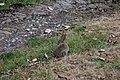 Rabbit on grass.jpg