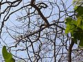 Radermachera xylocarpa (Roxb.) Roxb. ex K.Schum. (7086341081).jpg